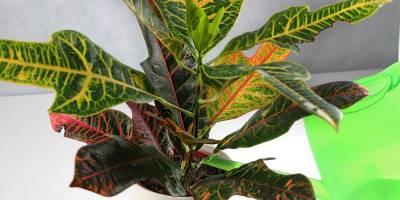 Codiaeum (Croton)